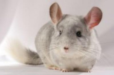 fun-interesting-facts-about-chinchillas-51cb418cdcebb7