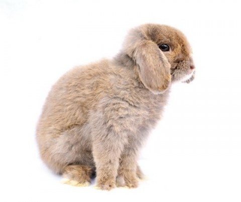 rabbit-french_lop-a_french_lop_rabbit's_incredibly_soft_scruffy_coat