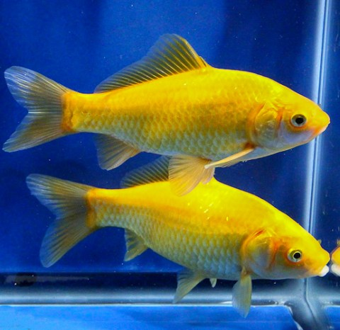 yellow-comet-goldfish21
